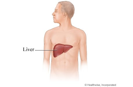 Picture of the liver and its location in the body