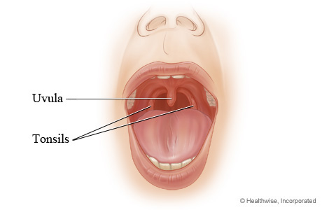 Picture of the tonsils and uvula
