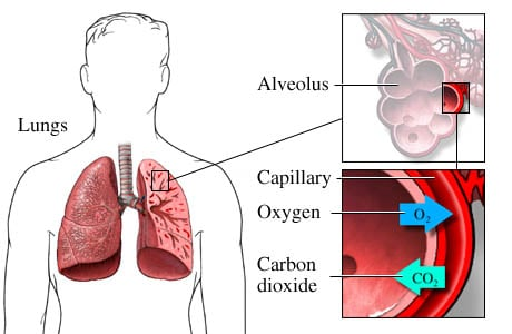 Picture of gas exchange in the lungs