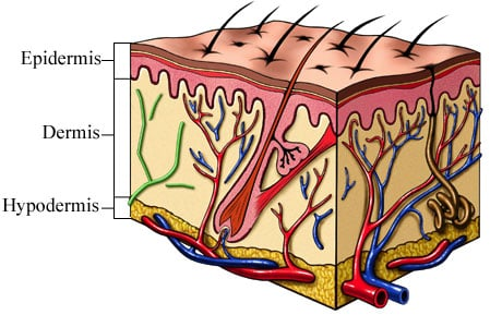 Picture of cross section view of the skin