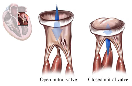 Picture of the normal function of the mitral valve