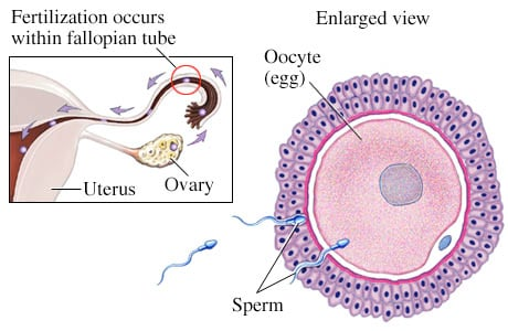 Picture of fertilization