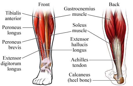 Picture of the muscles of the lower leg