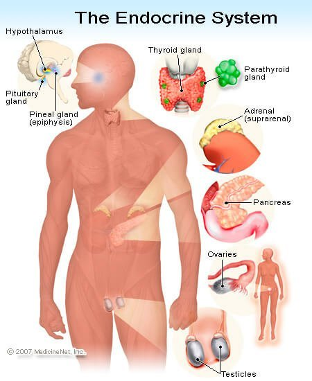 Illustration of the Endocrine System