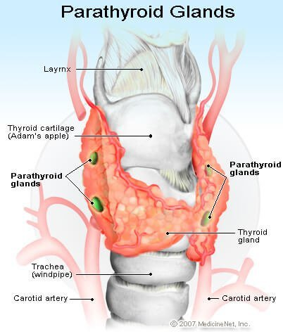 Illustration of the Parathyroid Glands