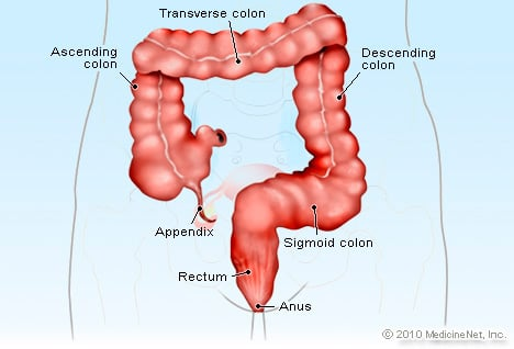 Anus Illustration