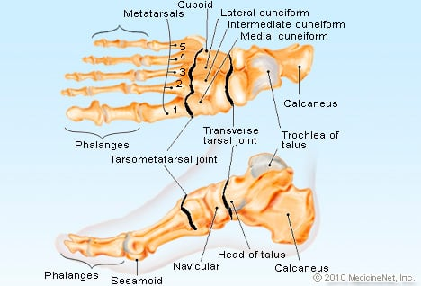 Foot Anatomy Detail Illustration