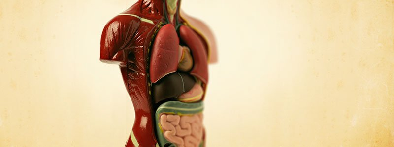 Image of human internal organs.