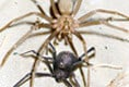 Black Widow vs. Brown Recluse: See Who Wins