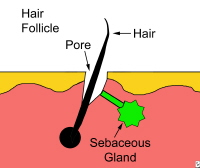 Hair follicle.