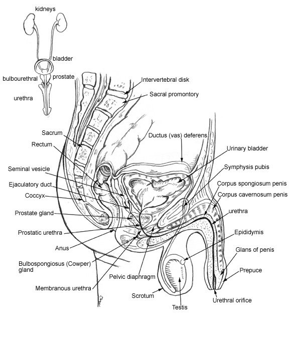 Anatomy of the male pelvis, genitals, and urinary tract
