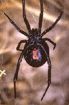 Black widow spider. Note the characteristic hourglass abdominal markings