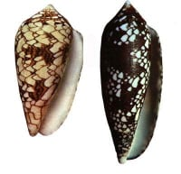 Cone snail shells.