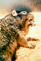 Rock squirrel coughing the blood-streaked sputum of pneumonic plague. Courtesy of Ken Gage, PhD, CDC, Fort Collins, Colo.