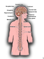Picture of the central nervous system (CNS).