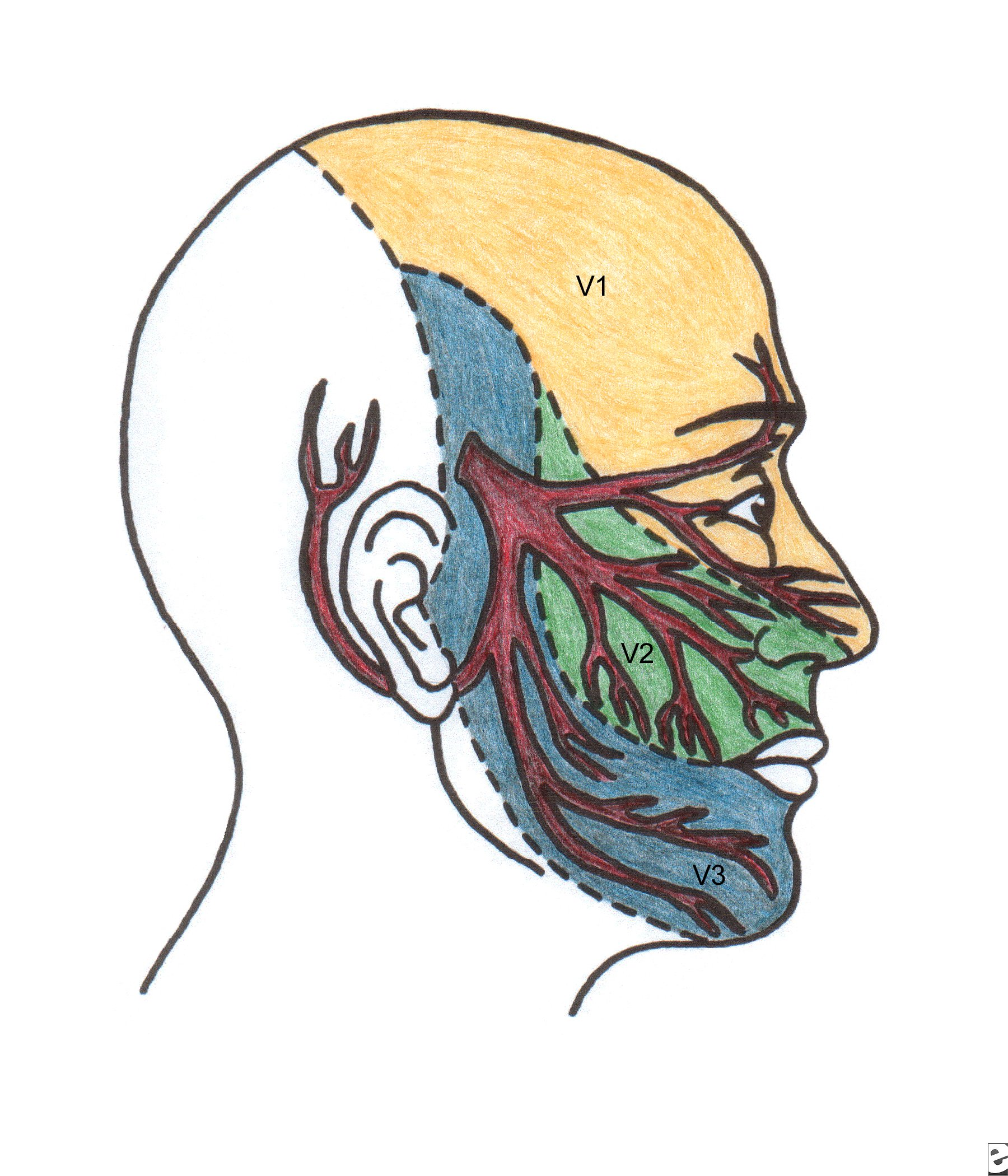 The trigeminal nerve is a cranial nerve (meaning it exits the brain through the skull, bypassing the spinal cord). The trigeminal nerve provides sensation and control of the face. Inflammation of or pressure on the trigeminal nerve can cause intense pain, sometimes requiring surgery.