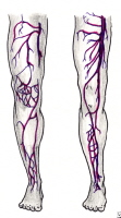 Superficial and deep vein systems in the leg.