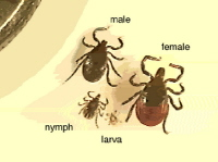 Magnified ticks at different stages of development.