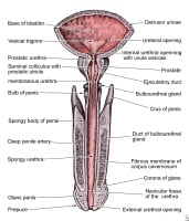 See pictures of the male anatomy longitudinal section of the penis and its relationship to the bladder and the urethra ccuart Gallery