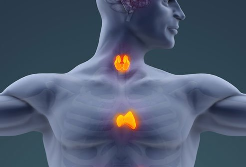 Picture of the thyroid and thymus glands.
