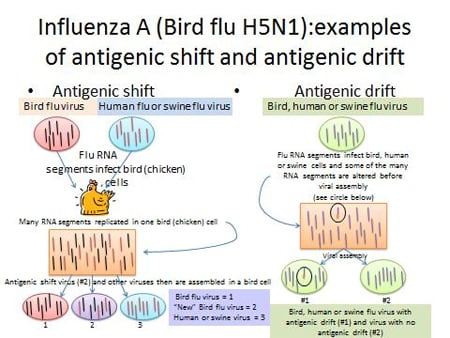 Influenza A (bird flu H5N1): examples of antigenic shift and antigenic drift