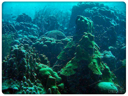 Picture of Live Corals, Image Courtesy of Cynde Lee