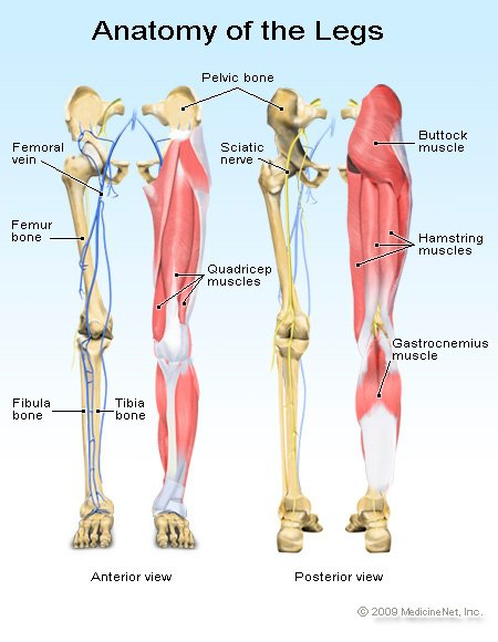 Picture of the muscle and nerve anatomy of the leg