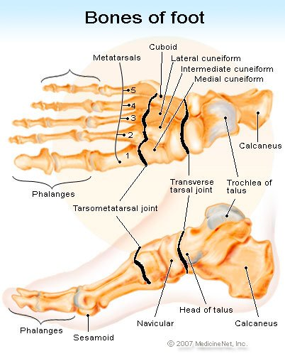 Picture of the bones of the foot