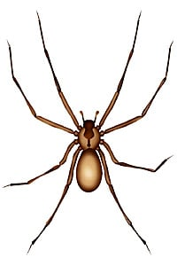 Picture of Brown Recluse Spider