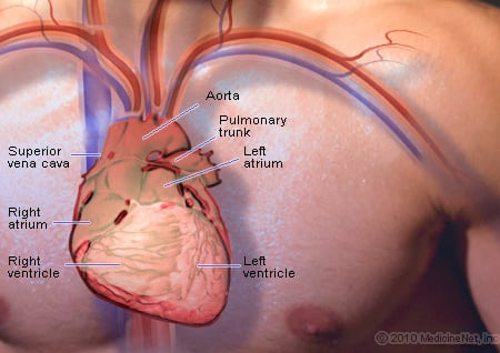 Picture of the basic anatomy of the heart