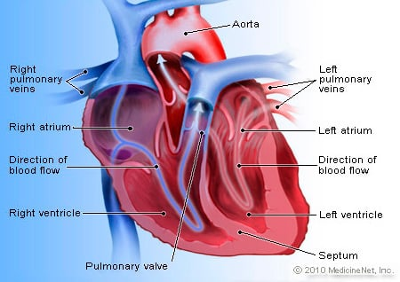 Picture of heart anatomy blood flow