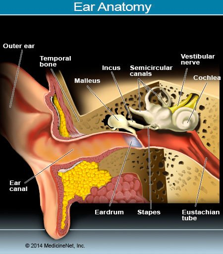 Picture of the Ear and Internal Structures