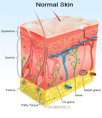 Picture of the layers of the skin including the epidermis and dermis layers