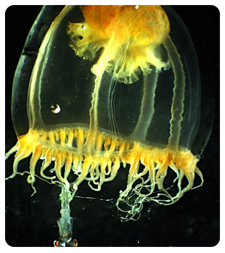 Picture of Zooplankton Jellyfish