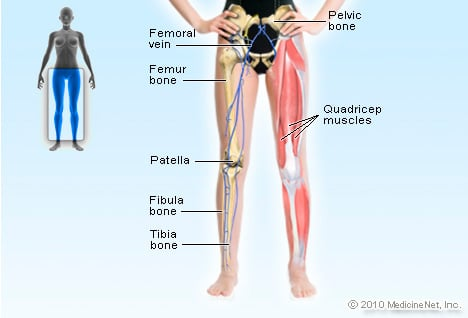 Illustration Picture of Anatomical Structures - Legs