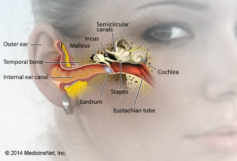Picture of Ear Anatomy