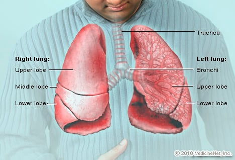 Picture Illustration of Anatomical Structures – Lungs