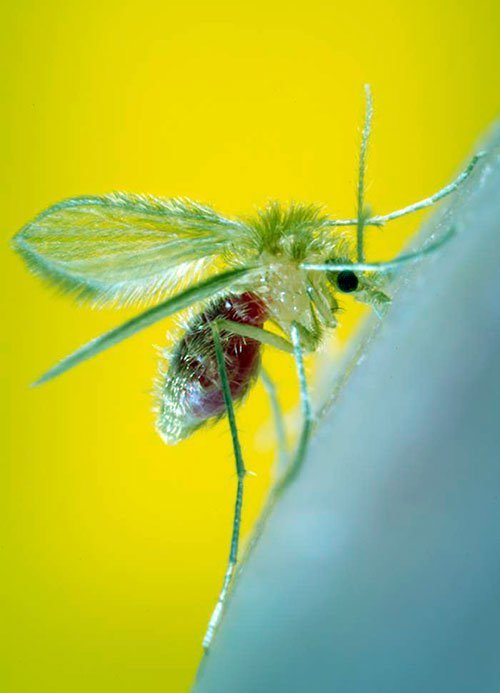 Picture of a sand fly