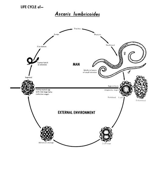 ascaris structure and life cycle