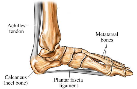 Picture of foot anatomy showing the plantar fascia