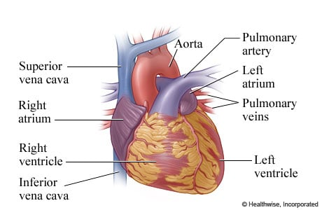 Picture of heart anatomy (outer view)