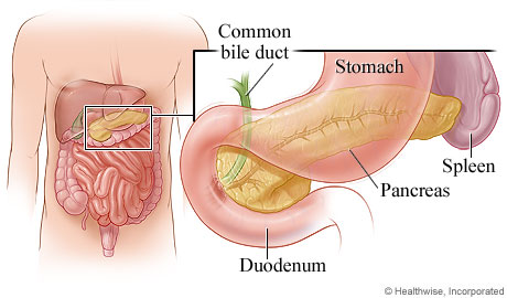 Picture of the pancreas and its location in the body