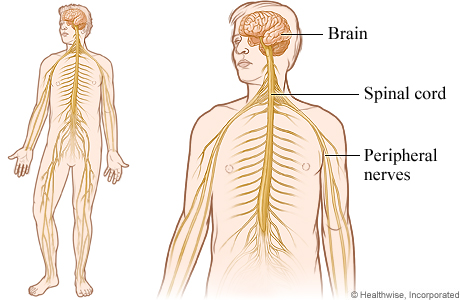 Pictire of the nervous system