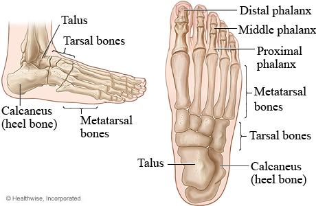 Pictures of the bones of the foot (top view and side view)