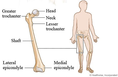 Picture of the femur (thighbone)