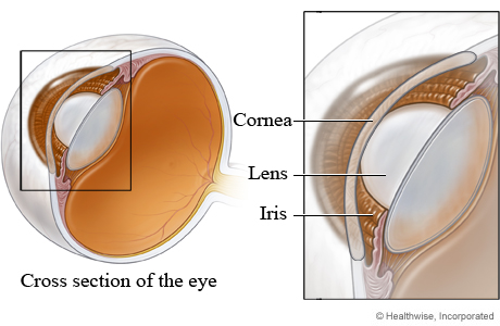 Cornea, lens, and iris of the eye