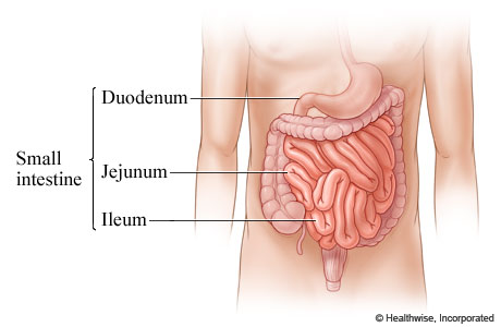 Picture of the regions of the small intestine