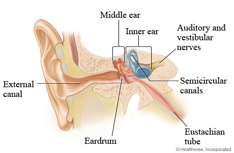 Picture of middle and inner ear