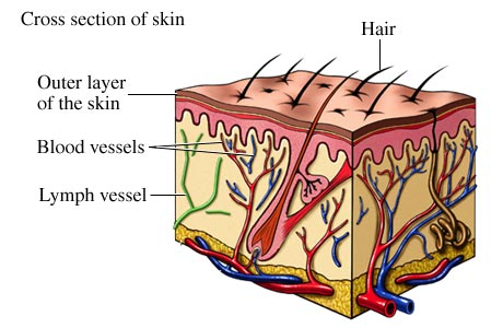 Picture of blood and lymph vessels of the skin