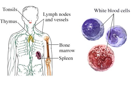 Picture of the components of the immune system